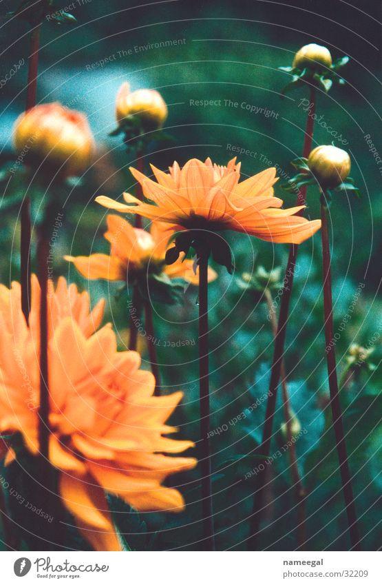 Dalien schön Blume grün Pflanze Blatt Garten Linie orange Stengel