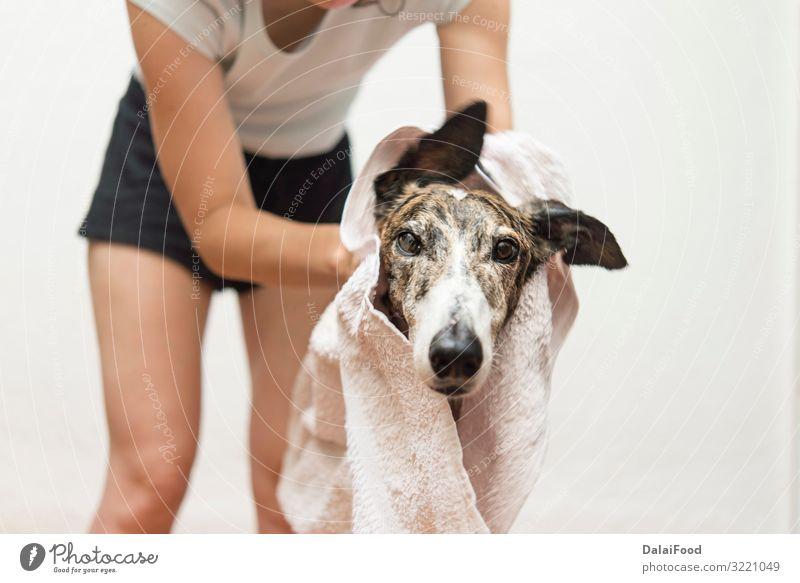 Trocknen des Hundes mit einem Handtuch Glück Frau Erwachsene Freundschaft Haustier klein lustig nass niedlich Sauberkeit weich braun weiß reizvoll Hintergrund