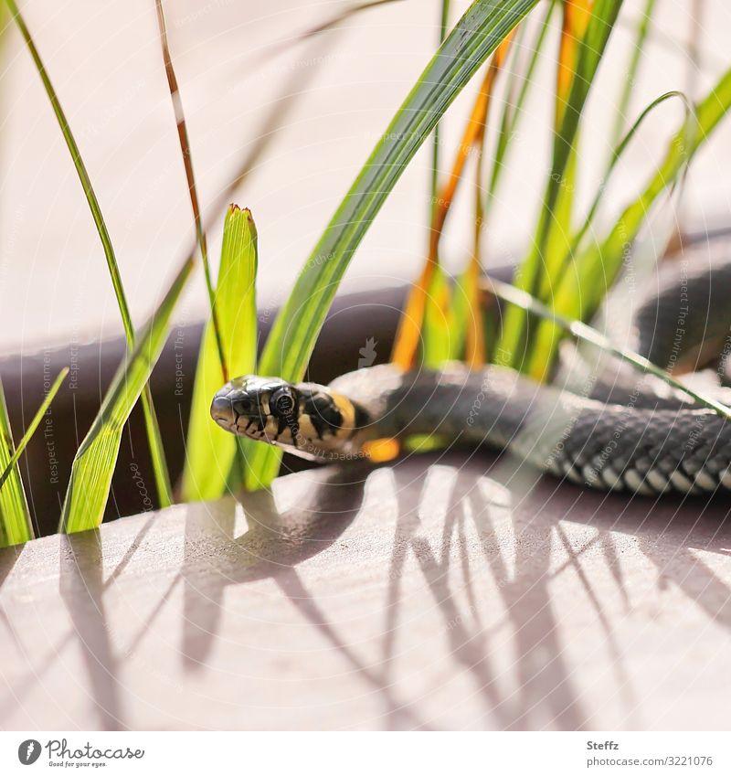 im Licht und Schatten Umwelt Natur Sommer Tier Wildtier Schlange Ringelnatter Natter Schlangenauge Reptil 1 beobachten liegen Blick außergewöhnlich dünn