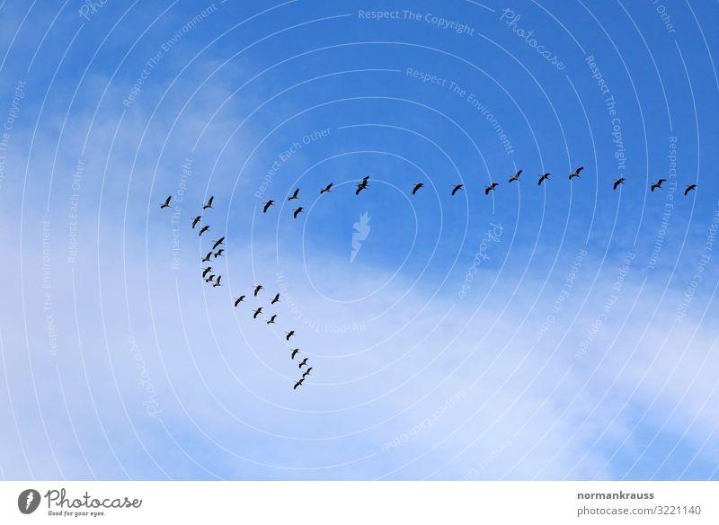 Zugvögel Tier Himmel Wolken Schönes Wetter Wildtier Vogel Schwarm fliegen blau schwarz Zugvogel Vogelschwarm Intuition Farbfoto Außenaufnahme Menschenleer