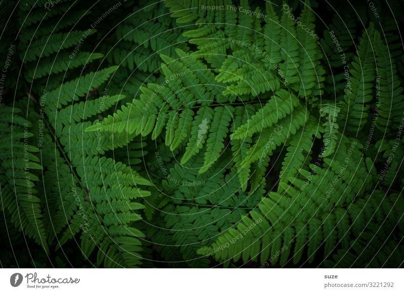 Wilder Farn Natur Pflanze grün Blatt ruhig dunkel Hintergrundbild natürlich Dekoration & Verzierung Wachstum Idylle authentisch Sträucher Klima einfach