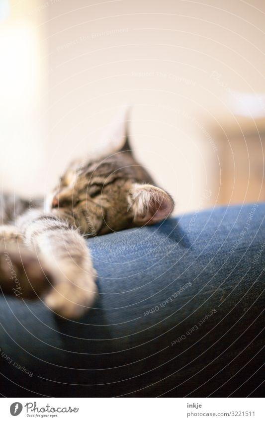 eingenicktes Kätzchen Tier ruhig Tierjunges klein Häusliches Leben Zufriedenheit Freizeit & Hobby authentisch niedlich schlafen Haustier Jeanshose Kuscheln