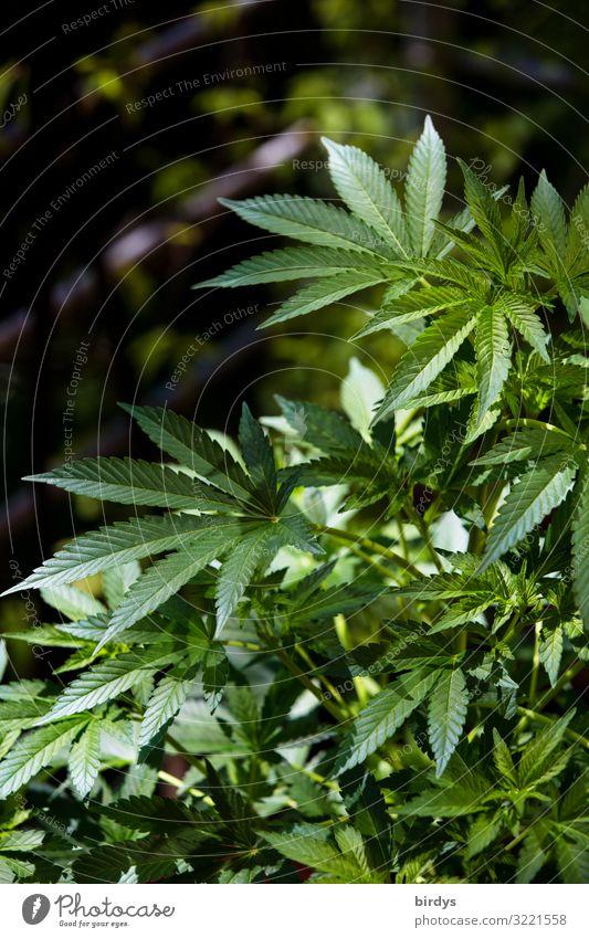 Cannabis Sommer Schönes Wetter Pflanze Grünpflanze Nutzpflanze Cannabisblatt Industriehanf Garten Wachstum authentisch natürlich positiv grün Vorfreude