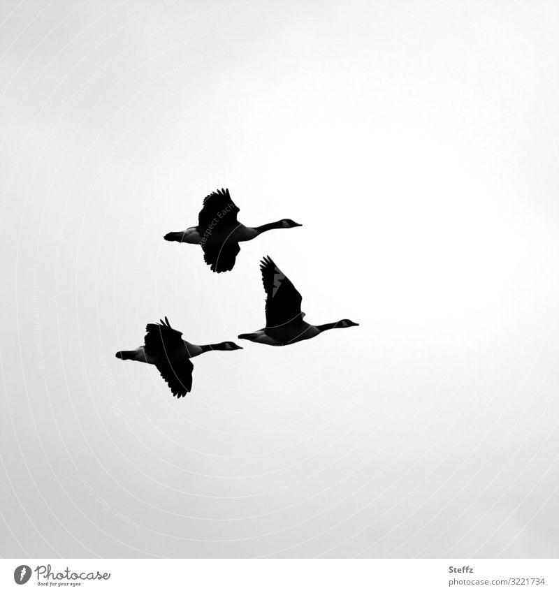 Zugvögel Umwelt Natur Herbst Tier Wildtier Vogel Gans Wildgans Wildvogel 3 fliegen wild grau schwarz weiß Vogelflug Zugvogel Traurigkeit Textfreiraum