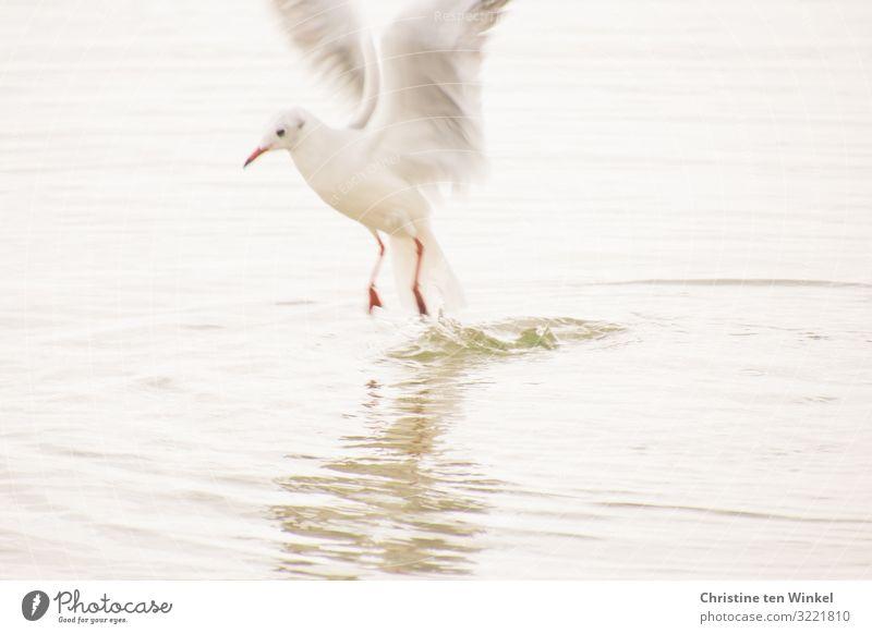 Möwe springt aus dem Wasser Umwelt Natur Tier Klimawandel Küste Vogel Tiergesicht Flügel Krallen 1 fliegen Jagd Blick ästhetisch außergewöhnlich hell nah nass