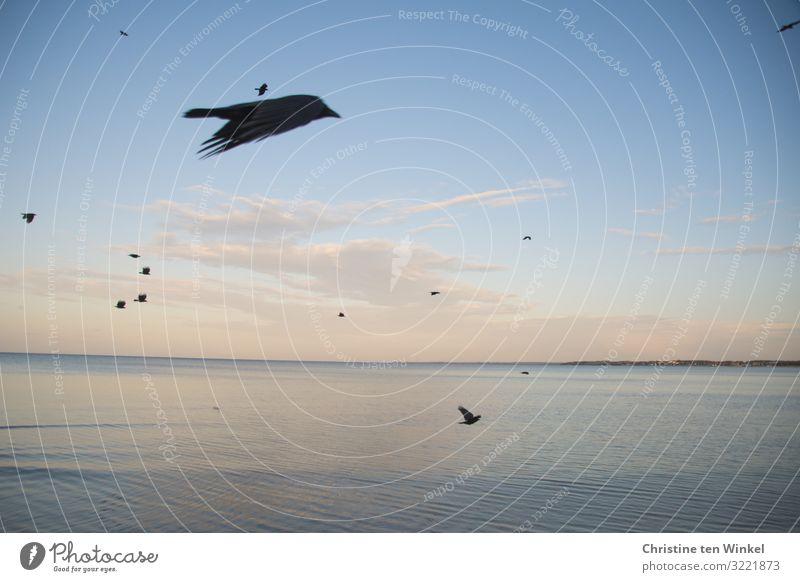 Rabenvögel im Flug über der Ostsee Natur Tier Himmel Wolken Herbst Klimawandel Schönes Wetter Wellen Küste Meer Deutschland Europa Wildtier Vogel Flügel Schwarm