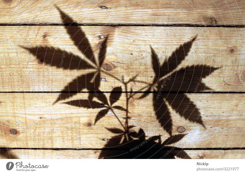 Schatten einer Hanfpflanze auf Holzdielen - Canabis - Nachtschattengewächs - Silhouette Marihuana Cannabis Betäubungsmittel Gras THC Pflanze cbd