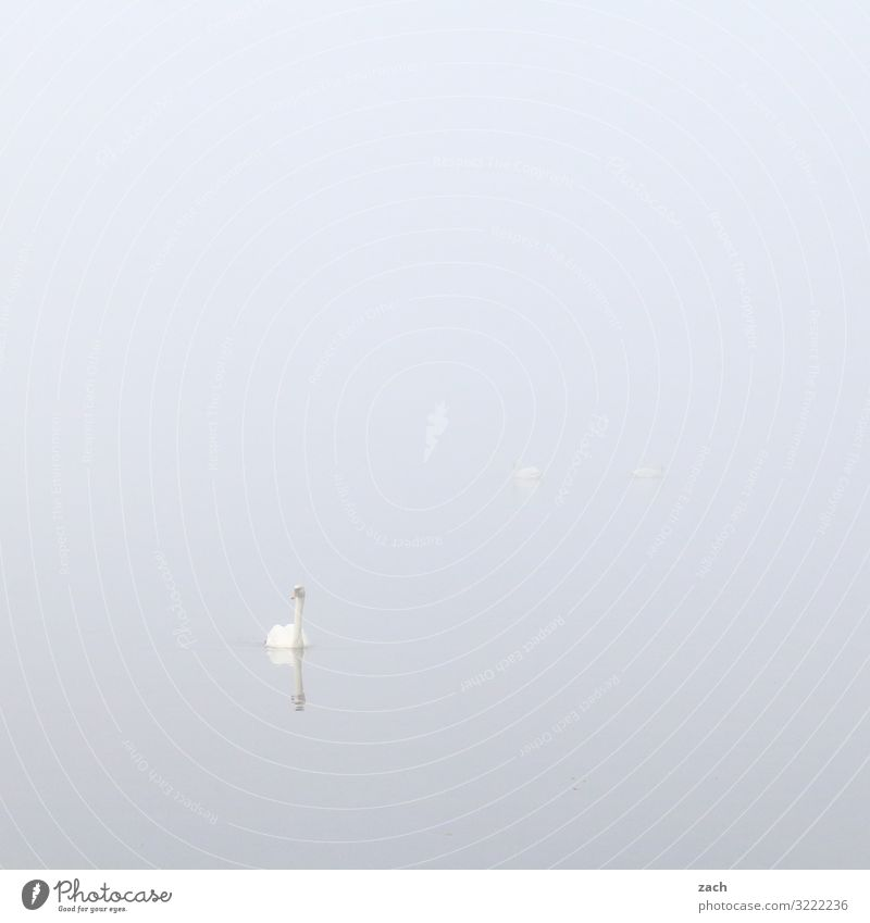 ganz in weiß Schwimmen & Baden 1 Mensch Tier Wasser Herbst Nebel See Vogel Schwan grau Gedeckte Farben Außenaufnahme Menschenleer Textfreiraum links