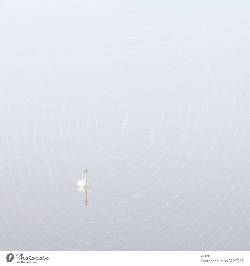 ganz in weiß Wasser Tier Herbst See Vogel Schwimmen & Baden grau Nebel Schwan