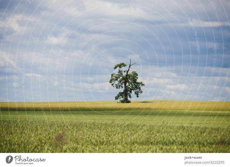 ein Baum mit viel Ausblick Landwirtschaft Landschaft Himmel Wolken Weizenfeld Wachstum authentisch Ferne Horizont Inspiration Naturerlebnis Ackerbau