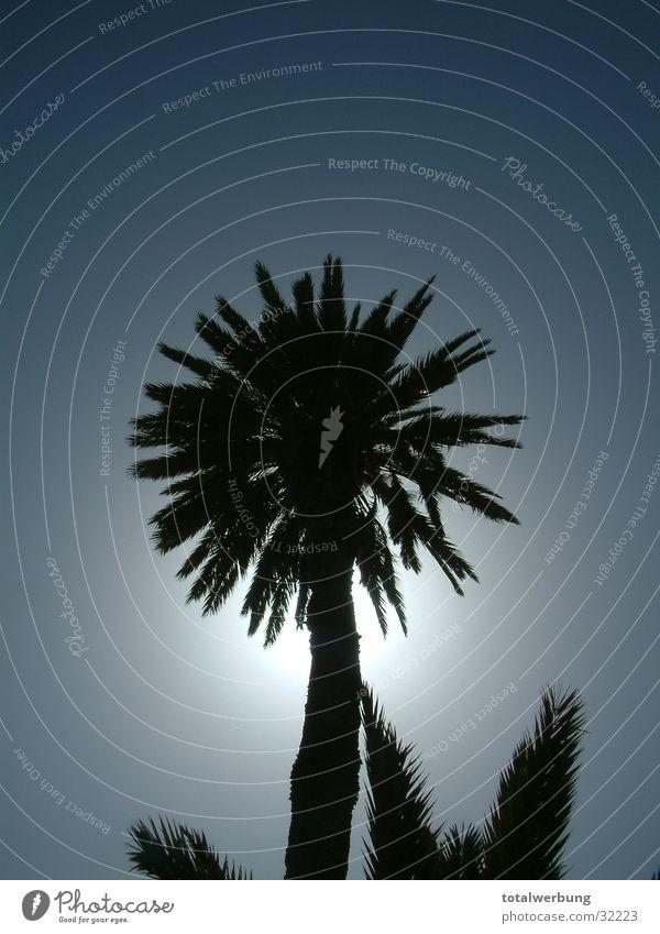 Palme im Gegenlicht Himmel Ferien & Urlaub & Reisen Europa Teneriffa