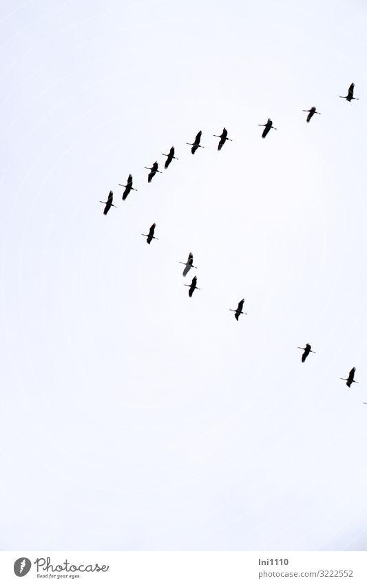 Kraniche über Hamburg | UT Hamburg Natur Himmel Herbst Schönes Wetter Hafenstadt Vogel Schwarm blau rosa schwarz weiß Süden Reisefotografie Vogelflug himmelblau
