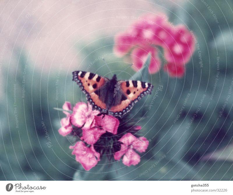 Kleiner Fuchs schön Blume Farbe Freiheit Schmetterling