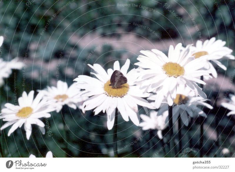 Jeden Tag Nektar Natur Sonne Blume Sommer Blüte Schmetterling