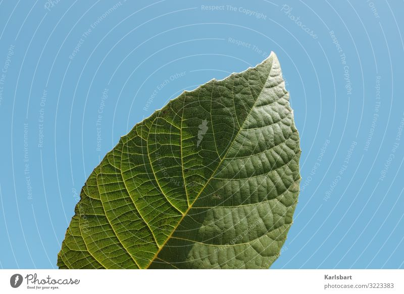 Grüne Revolution Umwelt Blatt Blattgrün Himmel himmelblau Sonnenlicht bio Biologie Botanik botanisch Pflanze Natur Garten Wachstum Flora Ökologie organisch