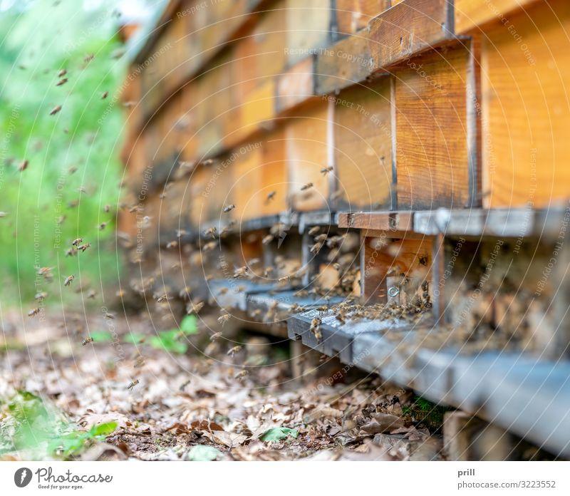 bees and apiary Landwirtschaft Forstwirtschaft Tier Biene Schwarm Holz viele chaotisch Bienenkorb bienengarten bienenstaat honigproduktion Imkerei Insekt
