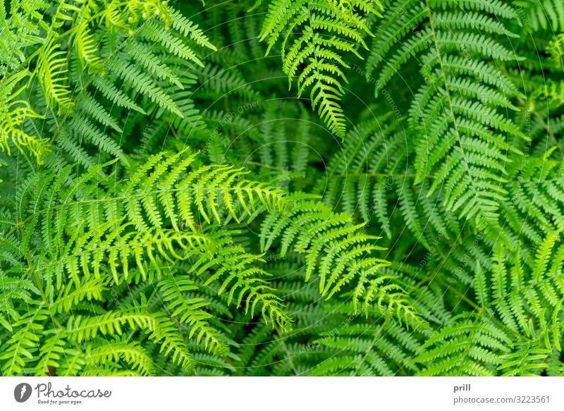 fern plants closeup Natur Pflanze Blatt oben saftig grün farn Farnblatt wedel formatfüllend erhöhter blickwinkel natürlich ausschnitt gedeihend Botanik