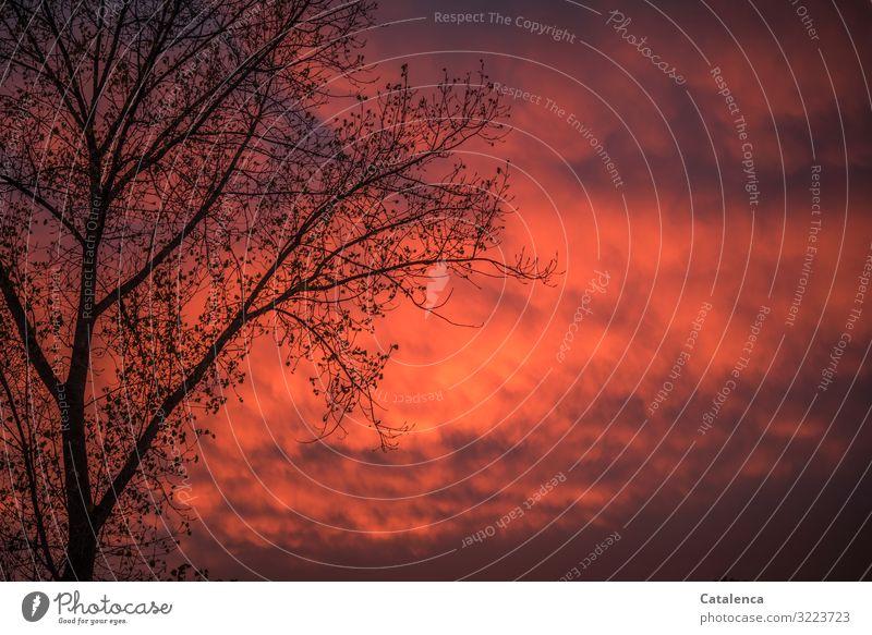 Abendrot im Dezember Umwelt Natur Pflanze Urelemente Himmel Wolken Sonnenaufgang Sonnenuntergang Winter Wetter Baum Ast Pappeln Garten authentisch