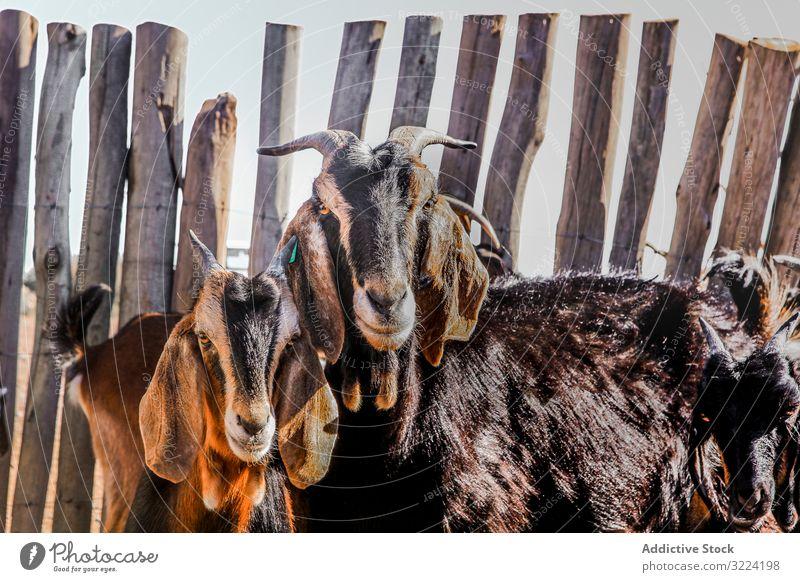 Haustiere, die sich auf der Weide ernähren Korral Ziege Sattelkammer Bauernhof Herde heimisch Tier Futter Sommer gepunktet Ackerbau Viehbestand Natur ländlich