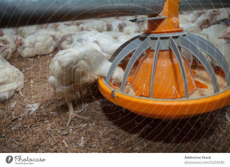 Fütterung hungriger Hühner vom Vogelfutterautomaten im Betrieb Hähnchen Futter Bauernhof essen Viehbestand Pute weiß Samen Industrie Speisekasten Federvieh