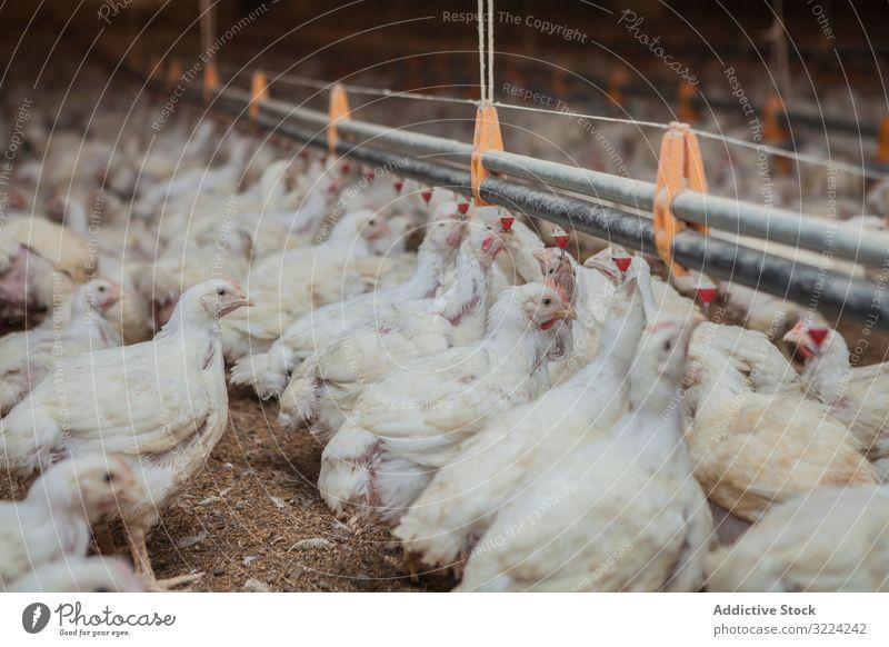 Geflügel in der Hühnerfarm Federvieh Hähnchen Bauernhof Pute füttern Spaziergang geräumig Haus beleuchtet Industrie Vogel Ackerbau Landwirtschaft Lebensmittel