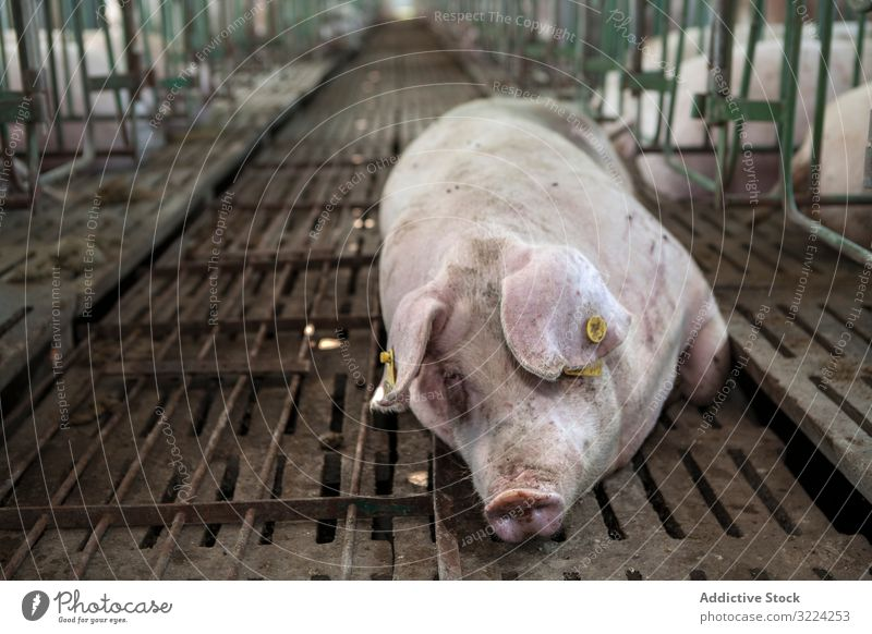 Gesundes Schwein ruht im Schweinestall Schweinekoben Bauernhof Gesundheit ruhen liegend entspannt Stock Industrie Schweinefleisch Tier Ackerbau Ferkel