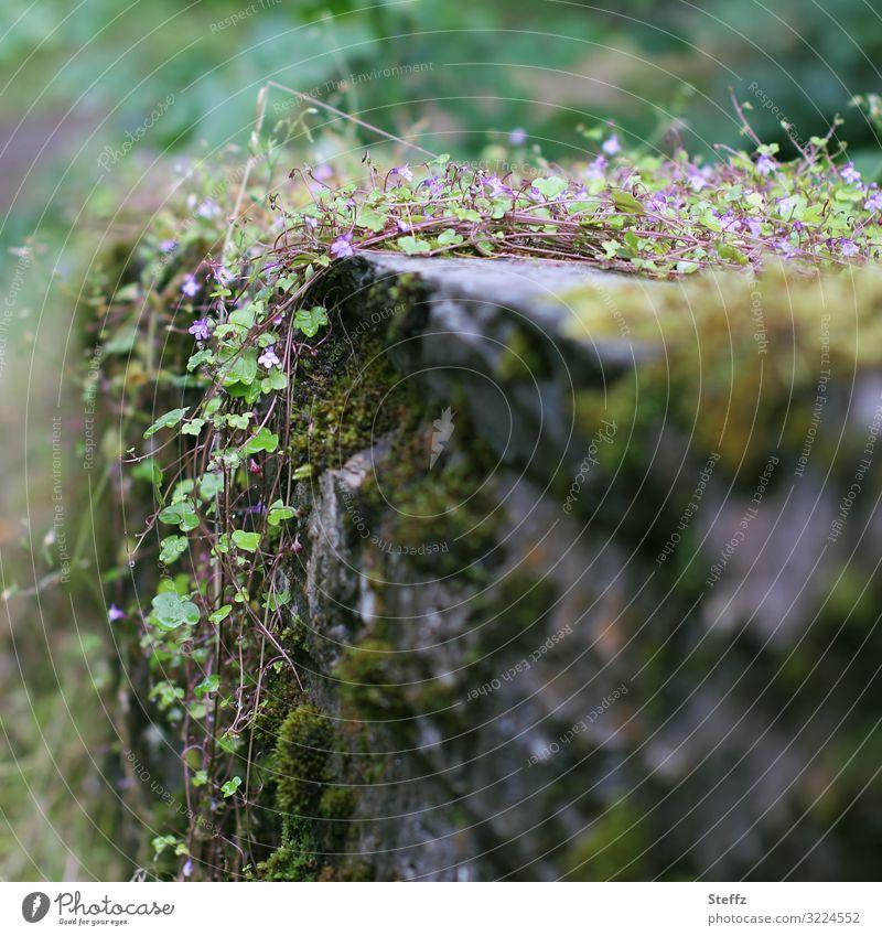 Wildpflanzen in Schottland Efeu Kletterpflanzen nordische Wildpflanzen nordische Natur nordische Romantik Mauerpflanzen alte Mauer Moos schottisch