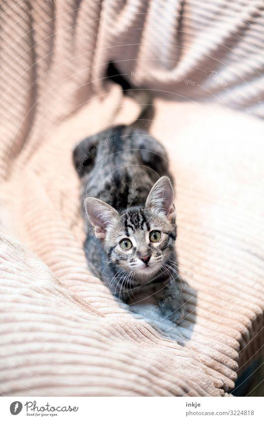 Savannah Kätzchen Haustier Tiergesicht Rassekatze 1 Tierjunges Decke Blick Neugier niedlich braun grau Farbfoto Gedeckte Farben Innenaufnahme Menschenleer