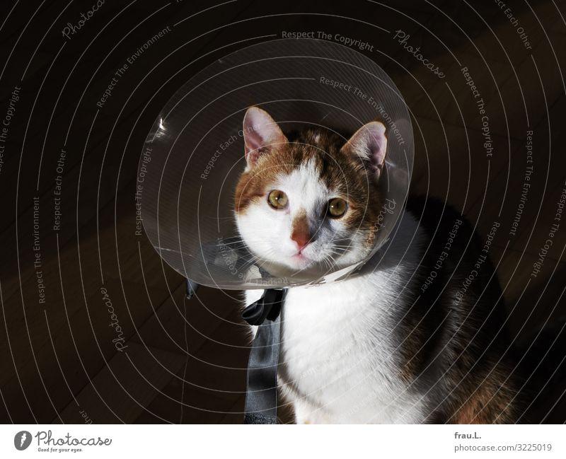 Schutzkragen Tier Haustier Katze Tiergesicht 1 Tierjunges Blick schön braun Tierliebe Wunde Heilung Hauskatze Vertrauen Zuneigung Hilfsbereitschaft Farbfoto Tag