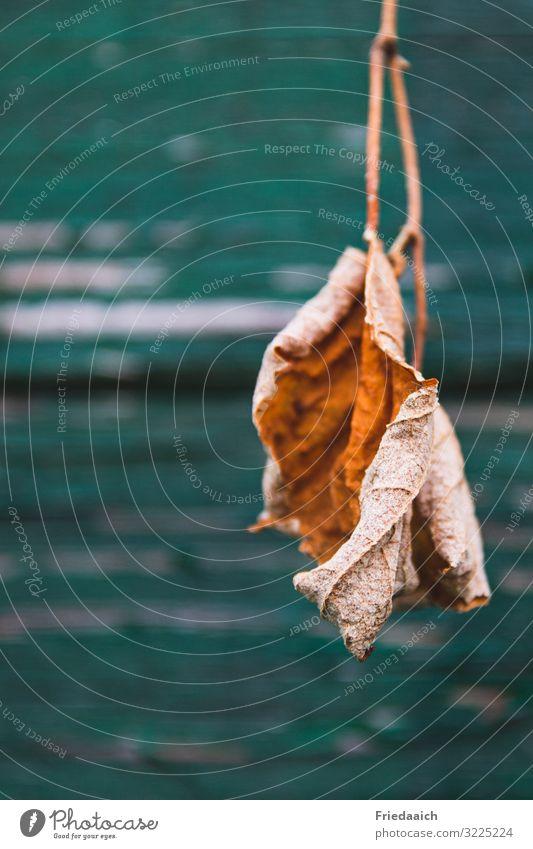 Schön in der Vergänglichkeit Natur Pflanze Herbst Baum Garten beobachten berühren dehydrieren ästhetisch außergewöhnlich natürlich trocken braun Wahrheit