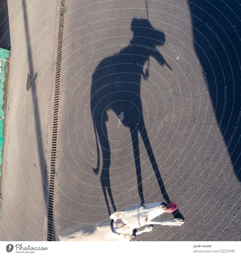 heißer Hund Sommer Wege & Pfade Windhund 1 Tier hängen lang Gefühle Durst erleben Perspektive Schwäche Schlagschatten Gassi gehen Zunge angeleint Comic kühlen
