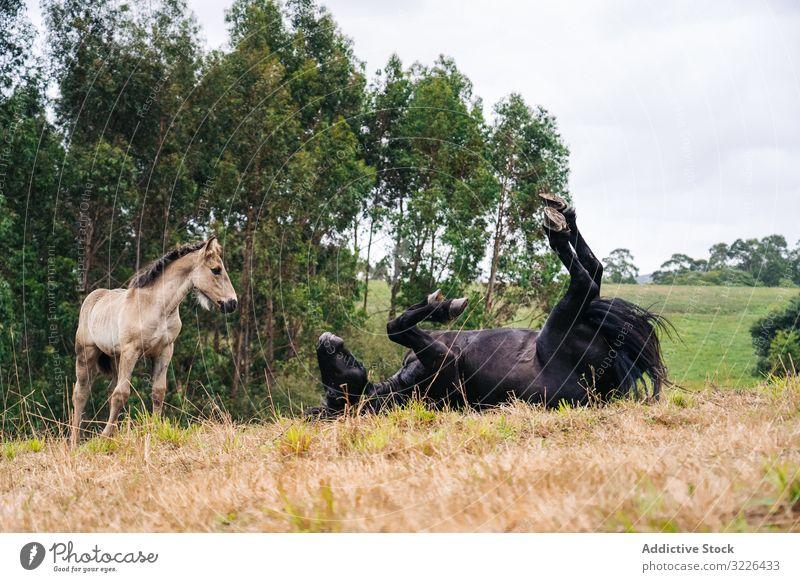 Rappe mit Fohlen auf dem Rasen grasend Pferd Weidenutzung Natur Tier Feld Bauernhof Gras Sommer braun Baby Hengst ländlich pferdeähnlich Reiterin Menschengruppe