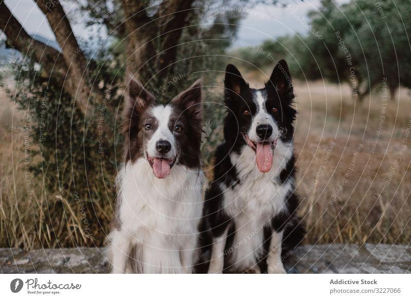 Border Collie-Hunde sitzen auf einem Backsteinzaun auf dem Land Haustier Tier Freund heimisch Säugetier ländlich Sitzen züchten Fell wach Eckzahn friedlich