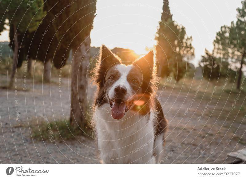 Senior Border Collie sitzt auf der Straße gegen verschwommenes trockenes Gras Hund Haustier Tier Freund Säugetier heimisch wach friedlich sich[Akk] entspannen