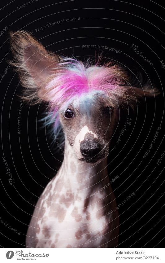 Erstaunlicher Hund starrt in die Kamera anschauend Haustier niedlich bezaubernd Tier heimisch Säugetier Eckzahn Reinrassig Zunge Stammbaum pelzig erstaunlich