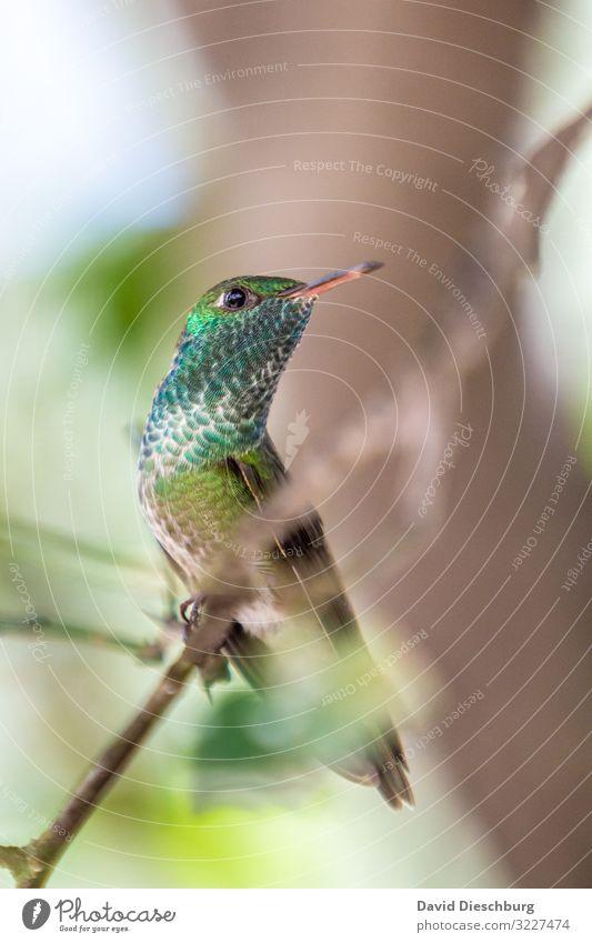 Kolibri Brasilien Vogel exotisch Federn glänzend bunt Schnabel klein winzig Südamerika rote liste Tier Wildtier Wald Urwald grün blau Blickkontakt Natur