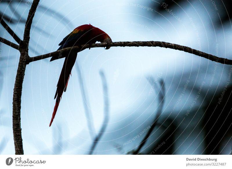 Astschere Ferien & Urlaub & Reisen Abenteuer Expedition Natur Wolkenloser Himmel Schönes Wetter Baum Urwald Wildtier Vogel 1 Tier Idylle Umweltschutz Brasilien