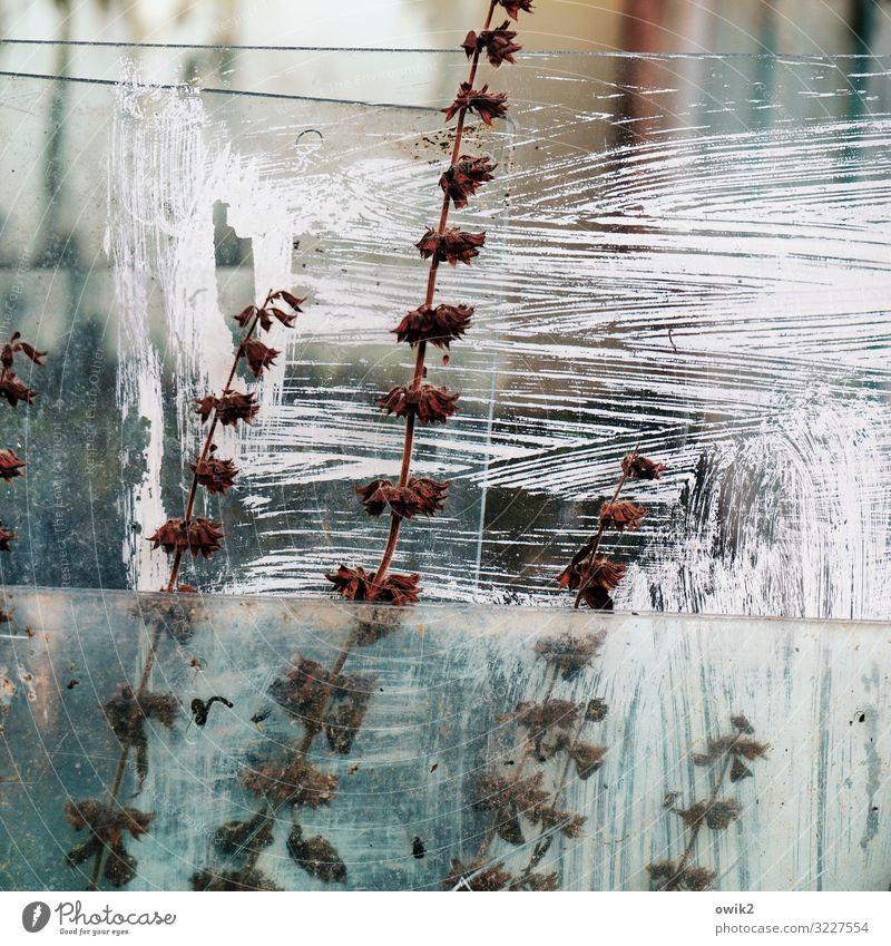 Konserviert Pflanze Sträucher Garten Gewächshaus Glasscheibe streichen zerkratzen alt trocken Halm Trockenblume abblättern Zahn der Zeit durchsichtig