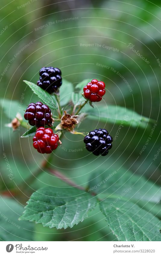 Brombeeren Natur Gesunde Ernährung Sommer Pflanze grün rot Wald Umwelt natürlich Frucht süß leuchten frisch glänzend Wachstum Sträucher
