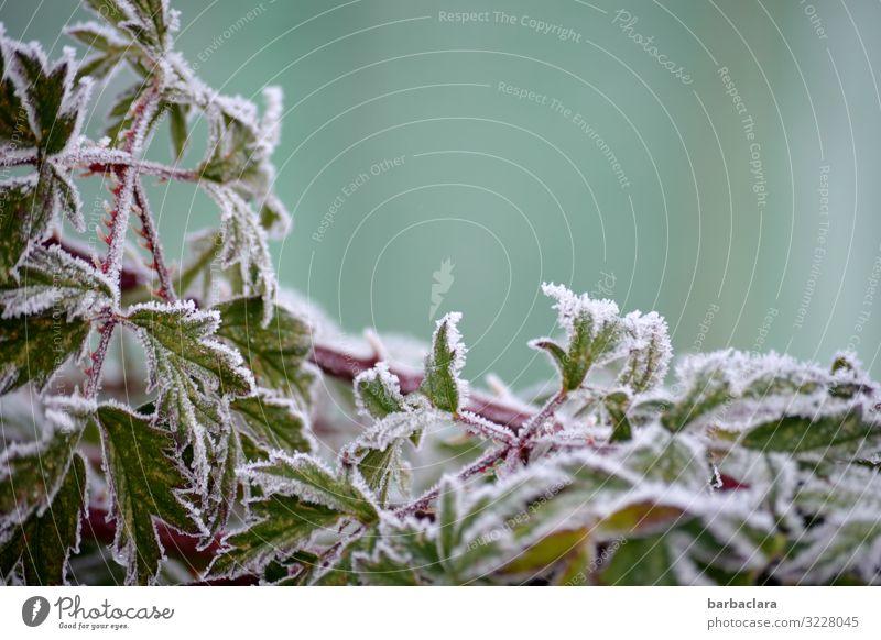Brombeerblätter im Eismantel Pflanze Winter Frost Schnee Sträucher Blatt Nutzpflanze Brombeerbusch Garten ästhetisch kalt grün weiß bizarr Klima Natur Umwelt