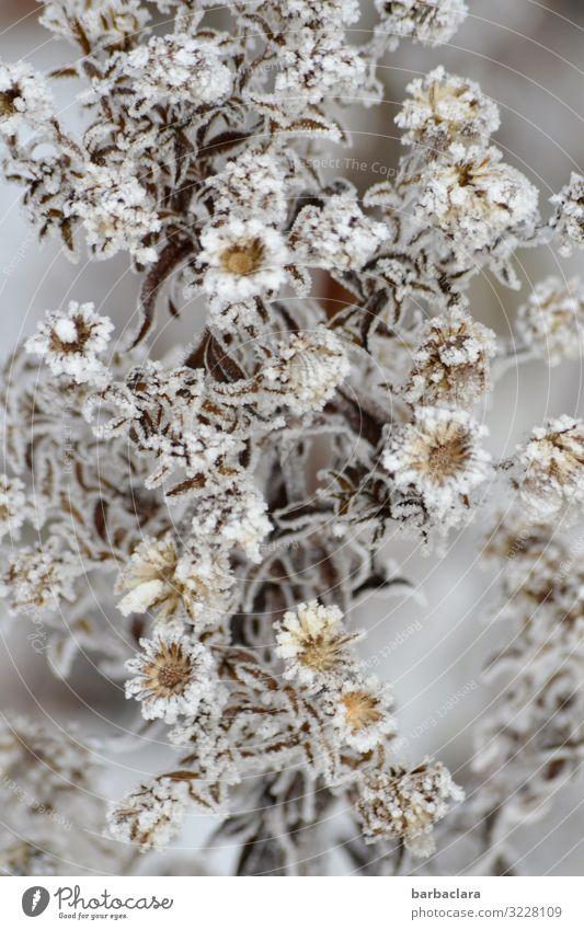 Eisprinzessin Aster Pflanze Winter Frost Schnee Blume Sträucher Blatt Blüte Garten Blühend ästhetisch kalt schön wild grau silber weiß Stimmung Romantik Klima