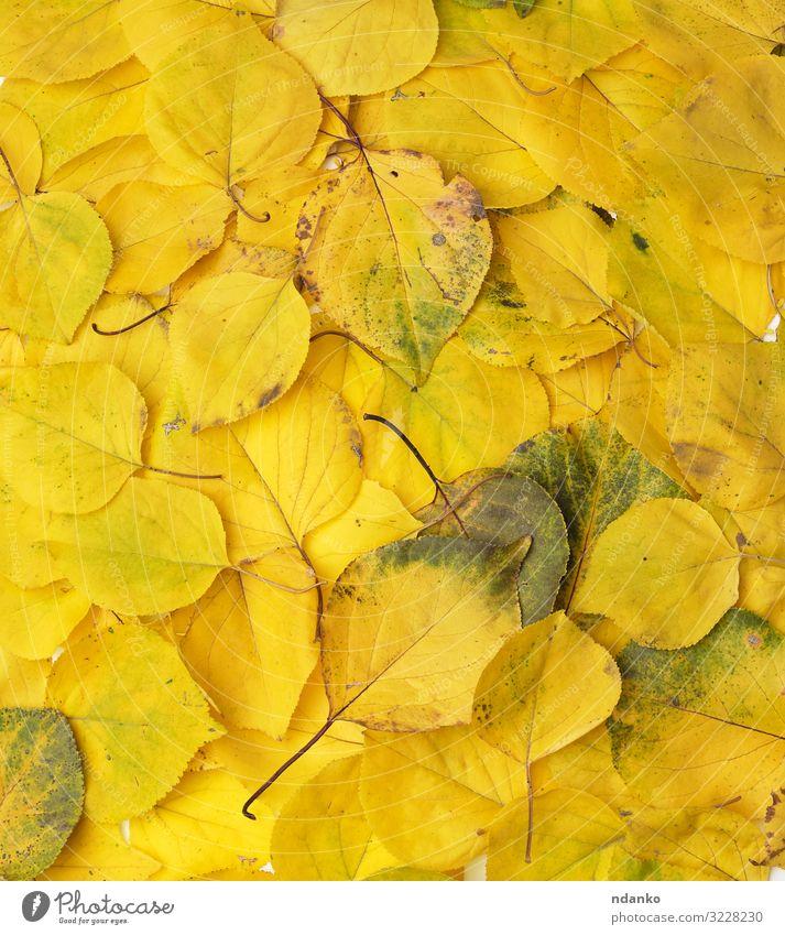 viele vergilbte, trockene Aprikosenblätter, Vollrahmen Garten Umwelt Natur Pflanze Herbst Baum Blatt frisch hell natürlich gelb gold grün Farbe Hintergrund