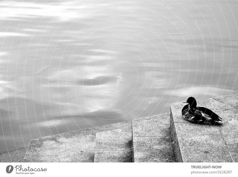 Immer nur schwimmen ist auch blöd Himmel Sommer Wasser weiß Erholung Tier ruhig schwarz Herbst Frühling kalt Denken grau Zufriedenheit träumen liegen