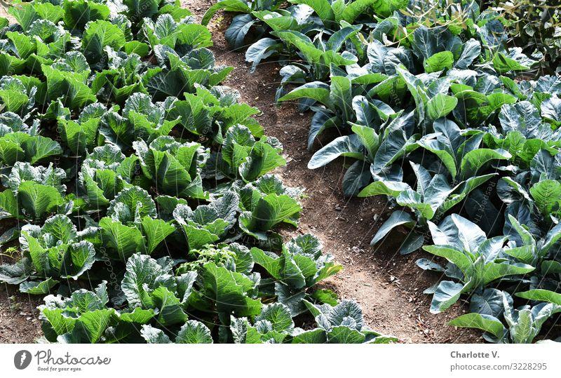 Grünzeug Lebensmittel Gemüse Salat Salatbeilage Ernährung Bioprodukte Vegetarische Ernährung Umwelt Natur Pflanze Sommer Nutzpflanze Feld leuchten Wachstum