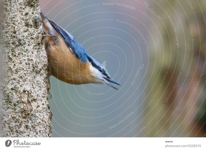 Nuthatch at a bird feeder house Natur Tier Vogel Kleiber 1 klein Geschwindigkeit Birdseed animal birdhouse branches feathers feeding fly food foraging forest