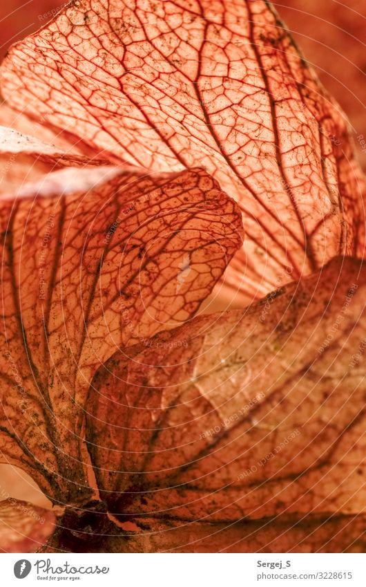 Trockene Hortensie Natur Pflanze Blatt Blüte Hortensienblüte trocken braun orange Strukturen & Formen Farbfoto Gedeckte Farben Innenaufnahme Nahaufnahme