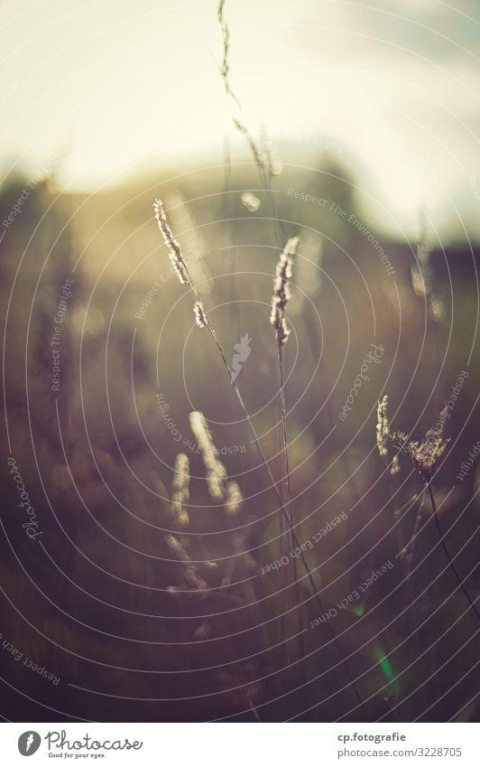 Das Ende der Sommerzeit Pflanze Sonnenlicht Herbst Schönes Wetter Gras Duft natürlich wild Stimmung Hoffnung Farbfoto Außenaufnahme Menschenleer Dämmerung