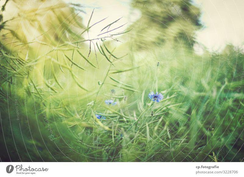 Blaue Blüte Natur Sommer Pflanze blau grün natürlich Schönes Wetter