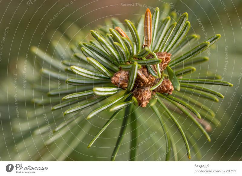 Grüne Nadeln Natur Pflanze Baum Tanne Duft Spitze stachelig grün Farbfoto Außenaufnahme Nahaufnahme Makroaufnahme Menschenleer Textfreiraum links