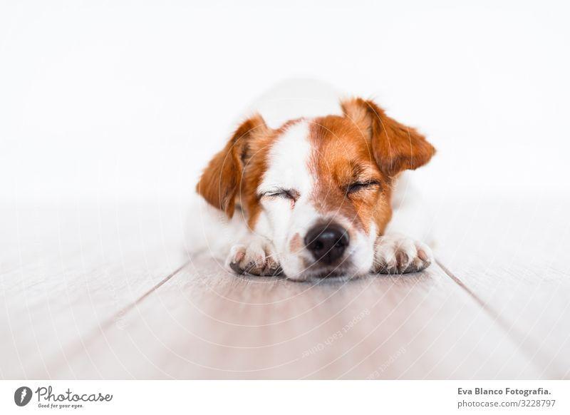 süßer Jack-Russell-Hund, der zu Hause auf dem Boden schläft niedlich Jack-Russell-Terrier Haustier heimwärts Porträt Blick intelligent gehorsam lügen sitzen